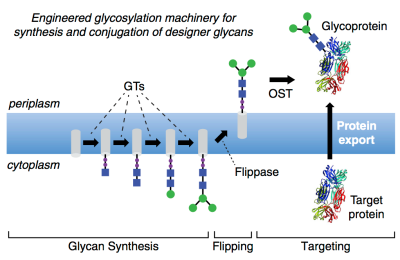 Cameron_Glycosylation