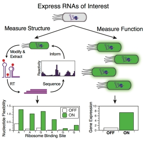 In-cell_SHAPE-Seq